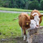 Kühe Zunge